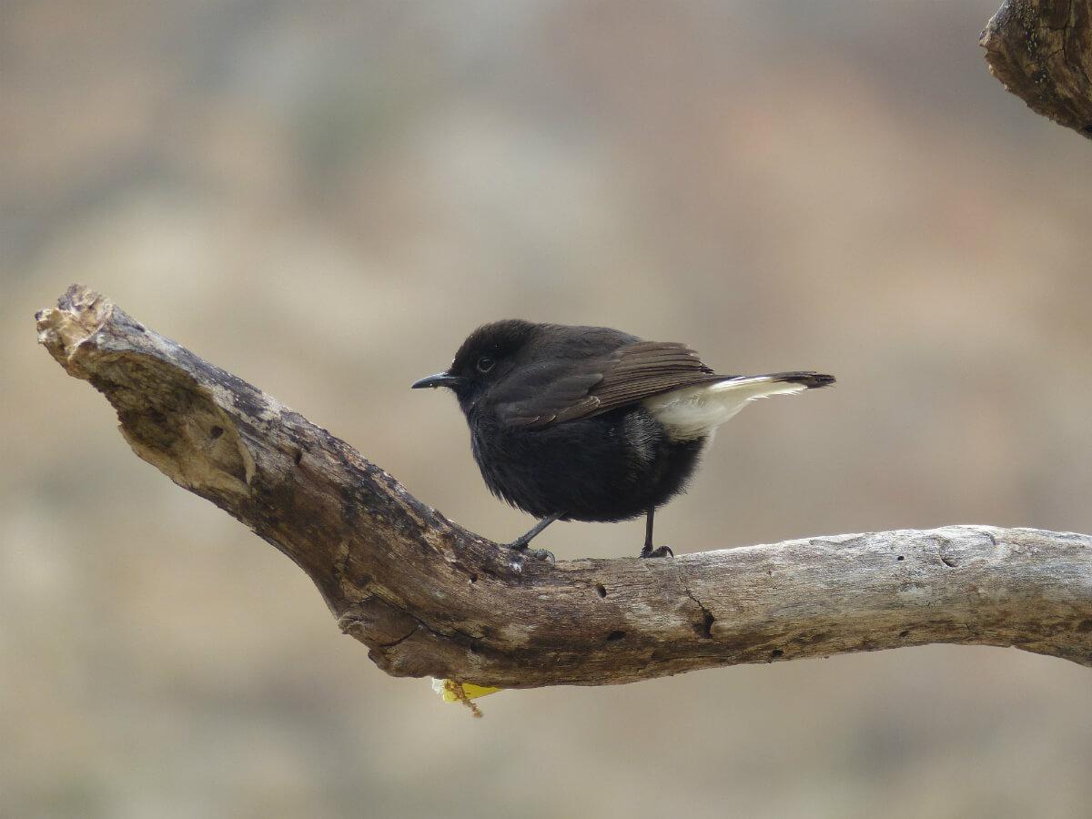 Mascle amb plomatge de 1r hivern. Es poden veure dues generacions de plomes. Foto Pere Josa