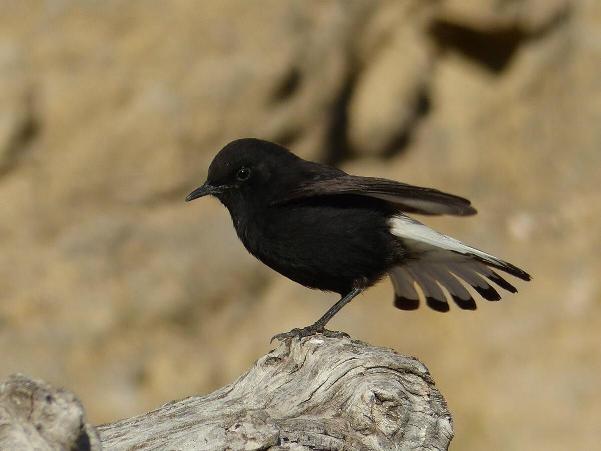 Colit negre mascle, en aquesta foto es pot veure el contrast entre el plomatge fosc i el blanc del carpó i gairebé tota la cua. Foto Pere Josa