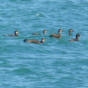 Les aus hivernants a la Badia dels Alfacs