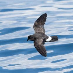 Sortida en barca: Les aus pelàgiques de maig