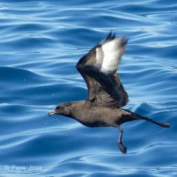 Sortida en barca: Les aus pelàgiques d'abril